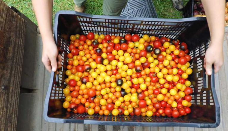 Bucket of tomatoes from pantry farm
